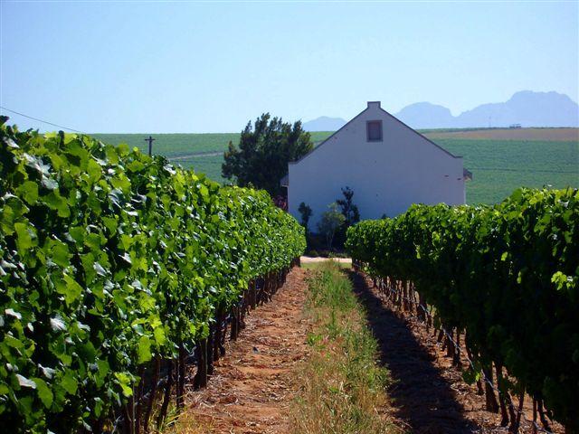 Bein Wine Weinberg grün