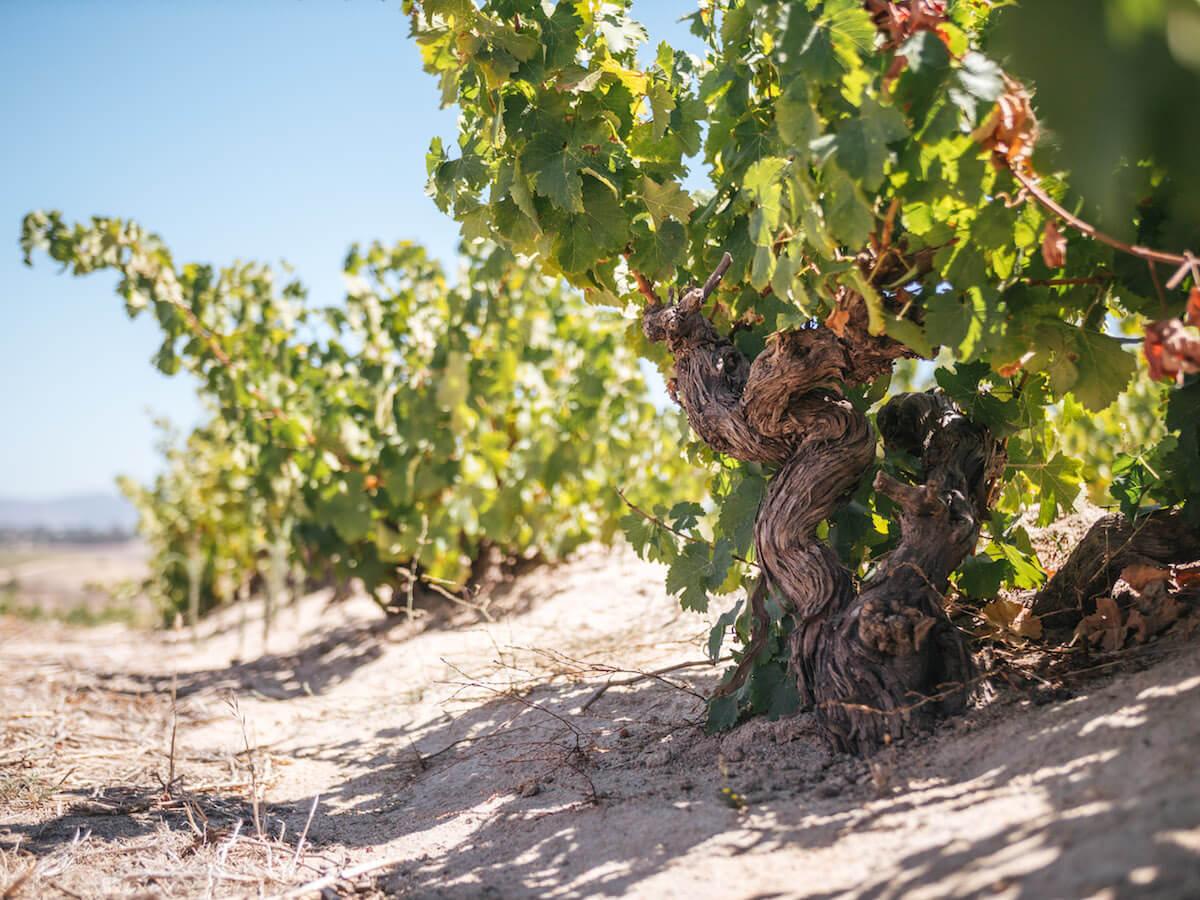 Rebe Weingebiet Spice Route
